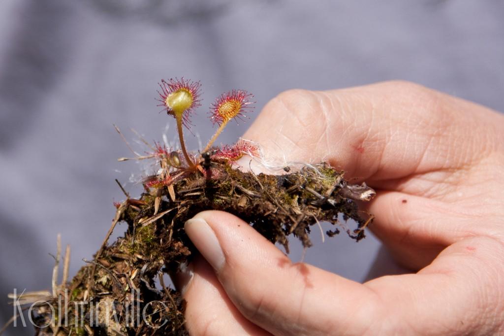 rundblättriger Sonnentau - eine fleischfressende Pflanze